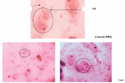 Candida cells, neutrophils, control (PBS), Low dose (5 mg/ ml) of Boerhavia erecta High dose (10 mg/ml) of Boerhavia erecta.