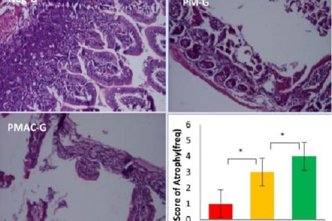 Score of Athropy of Intestinal Mucous Cell by HE staining methods. Mann Withney: *p<0.05